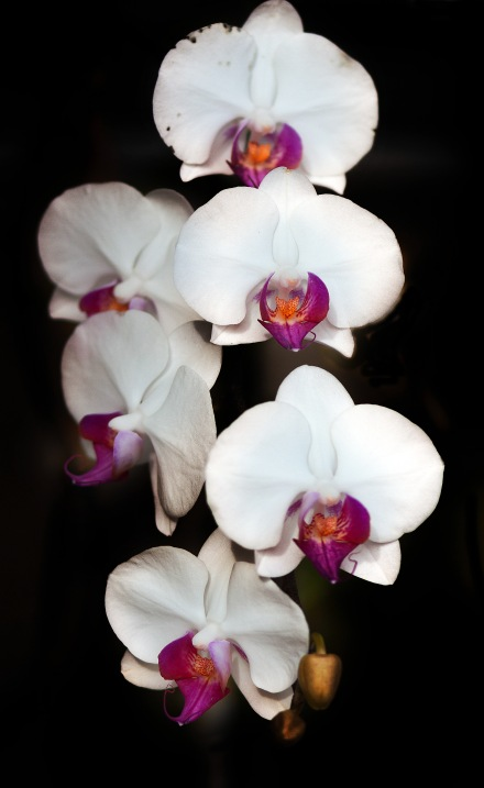 White orchidspse
